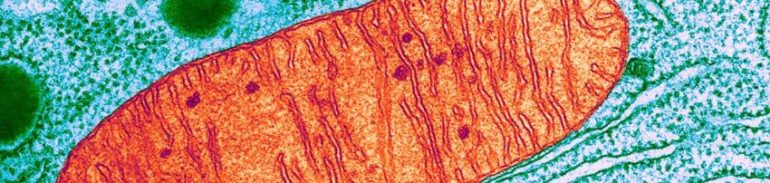 Cetonas y la mitocondria