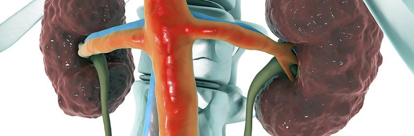 Anatomía de los riñones